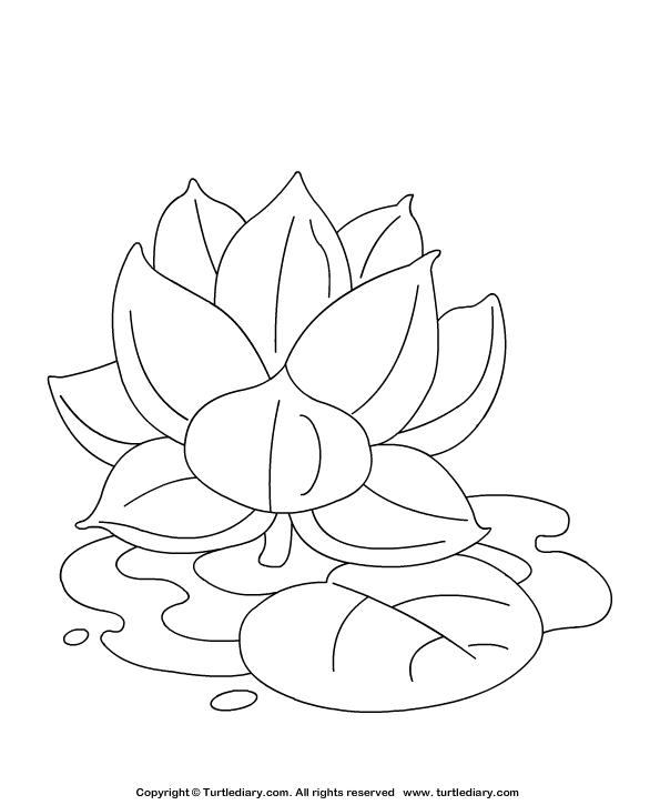 Lotus Coloring Sheet | Turtle Diary