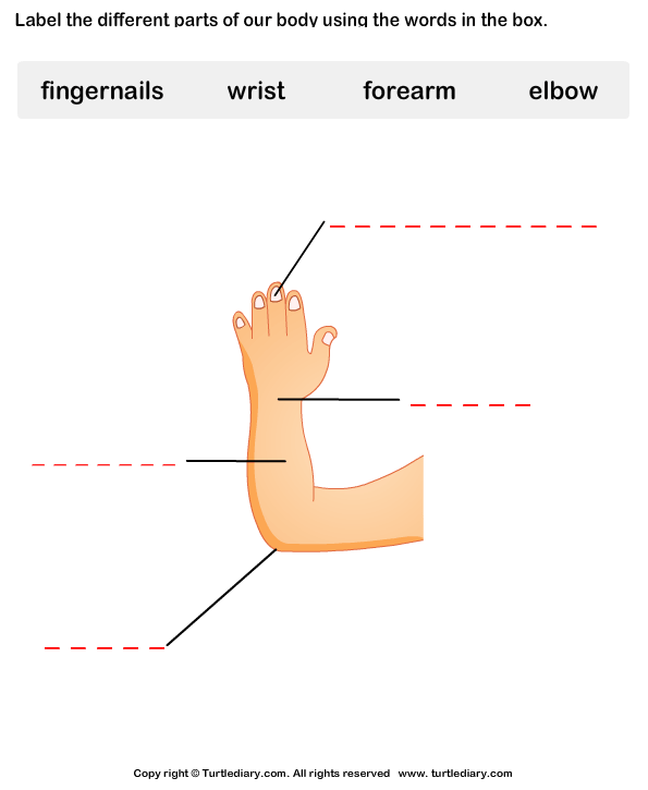 Body Parts Worksheet10