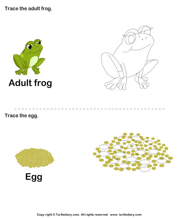 Frog Life Cycle Worksheet4