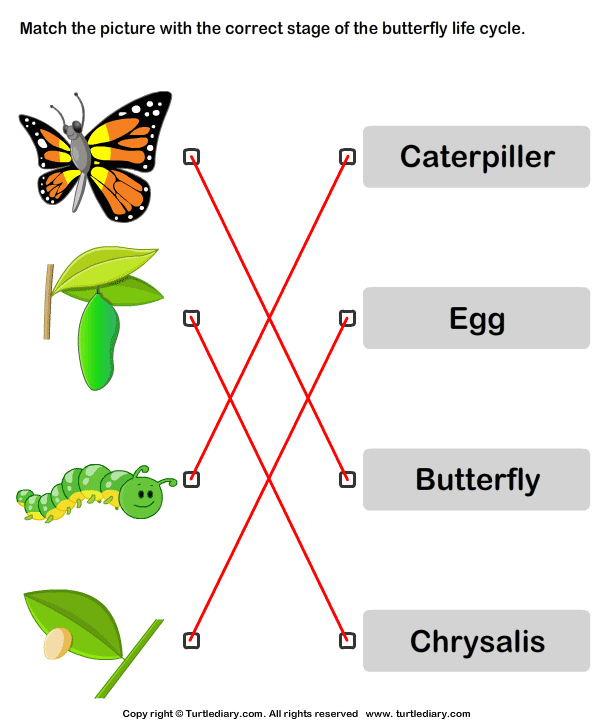 Butterfly Life Cycle: Match Pictures with Correct Name Answer