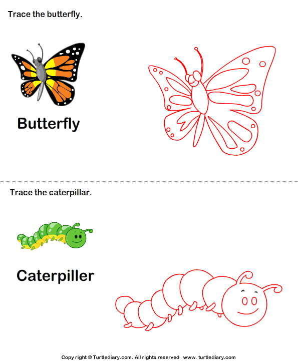 Trace the Stages of the Butterfly Life Cycle Answer