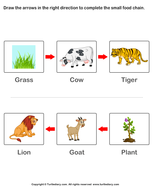 Complete the Food Chain - Fill in Arrows Answer