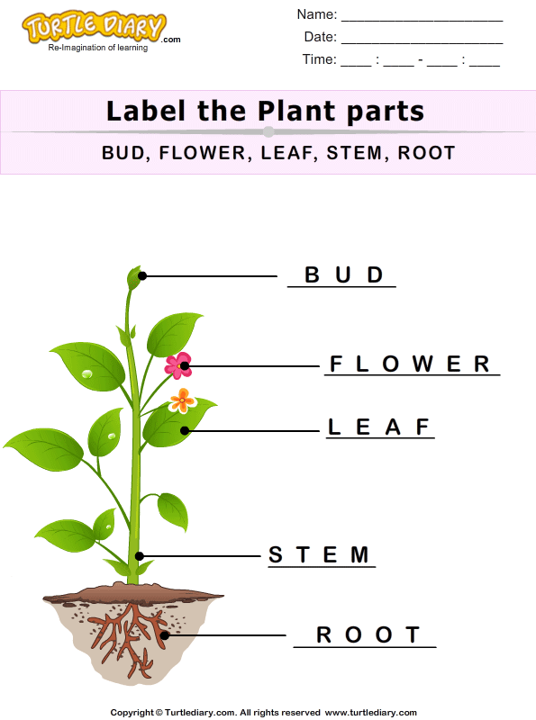 Label The Plant Parts Worksheet Turtle Diary