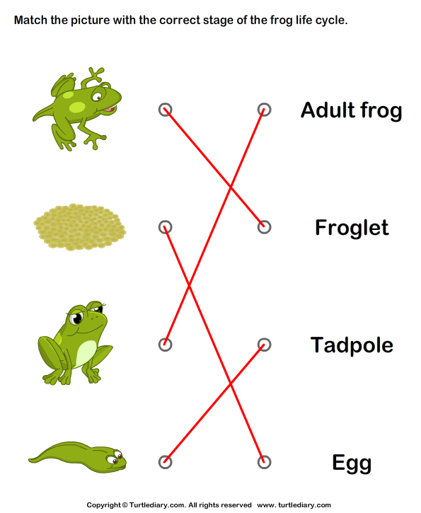 Frog Life Cycle: Match Pictures with Correct Name Answer