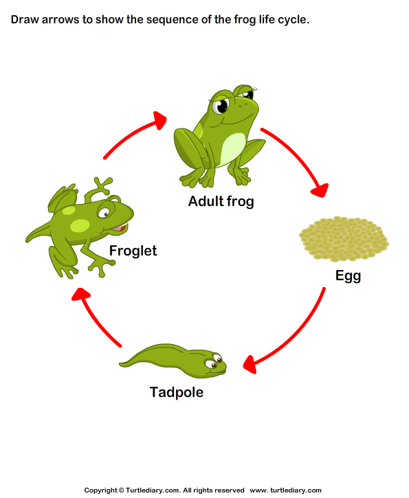 cycle of a frog The life cycle of a frog begins first as an egg, then develops into a tadpole, a tadpole with legs, a froglet and then a full grown frog.
