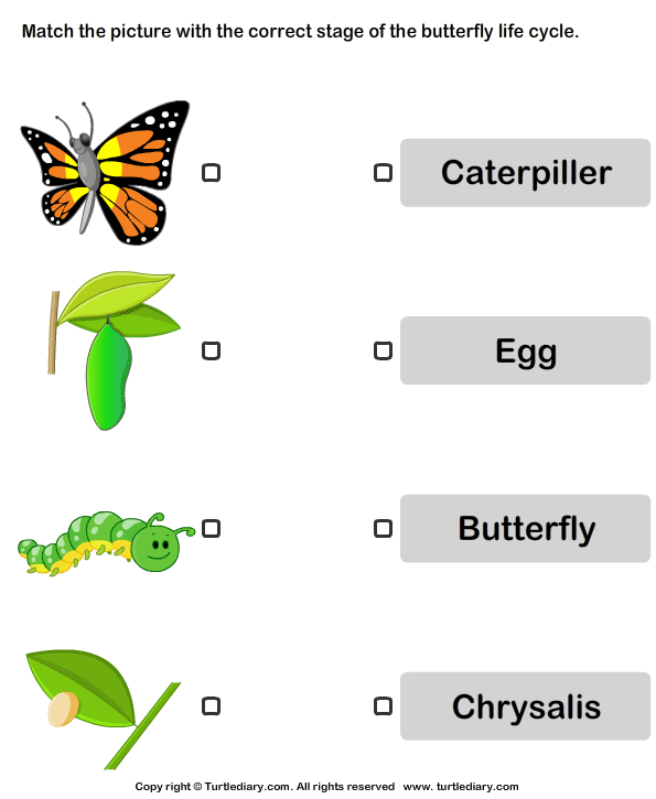 Butterfly Life Cycle: Match Pictures with Correct Name