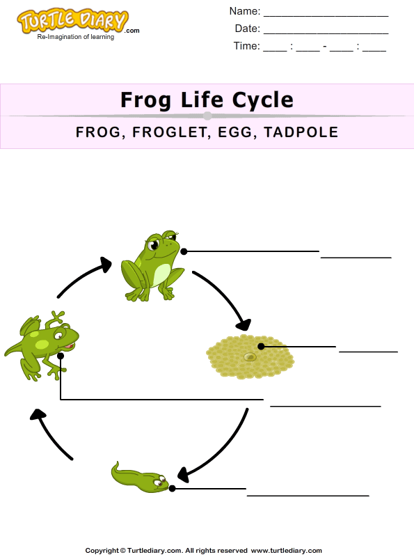 The Life Cycle of a Frog for Kids Worksheet - Turtle Diary