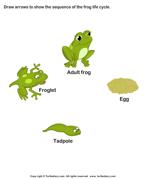 Sequence The Stages Of Frog Life Cycle Worksheet 1 - Turtle Diary