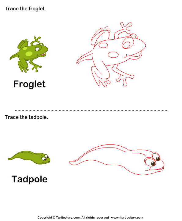 Trace the stages of the frog life cycle Answer